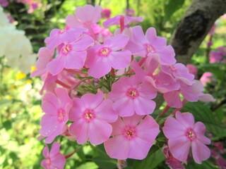Флокс метельчатый розовый.