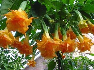 Бругмансия махровая оранжевая (Langenbusсher Garten).