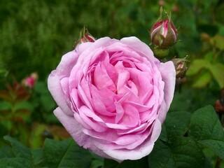 Чайная роза светло-розовая,