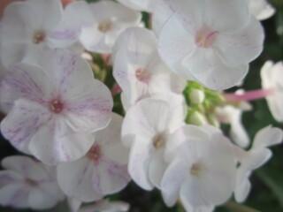 Флокс метельчатый белый с розовыми черточками.
