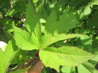 Гибискус травянистый розовый биколор (лист)
