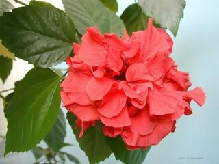 Гибискус комнатный красный махровый (китайская роза).