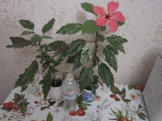 Гибискус комнатный пестролистный - гибискус Купера (китайская роза).