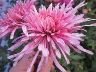 Хризантема высокорослая розовая игольчатая