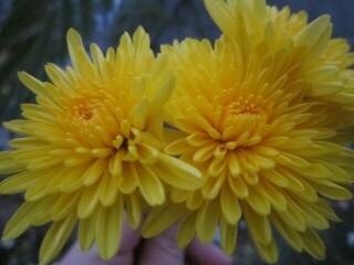 Хризантема высокорослая желтая махровая