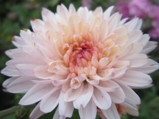 Хризантема высокорослая веточная светло-розовая (поздняя)
