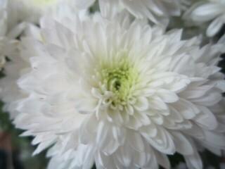 Хризантема высокорослая веточная белая поздняя.