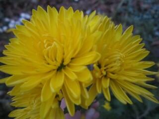 Хризантема высокорослая желтая, полумахровая.