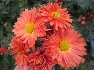 Хризантема высокорослая оранжевая полумахровая