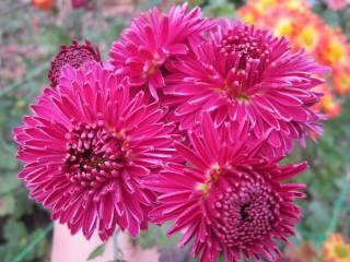 Хризантема высокорослая бордово-лиловая