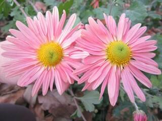 Хризантема высокорослая розовая (ромашка)