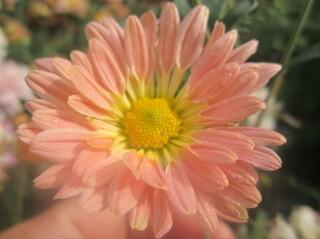 хризантема корейская низкорослая гибрид 5.1