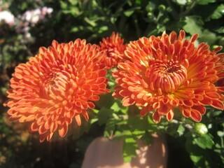 хризантема корейская низкорослая осеннее рандеву №1