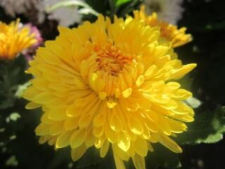 хризантема корейская низкорослая осеннее рандеву №2