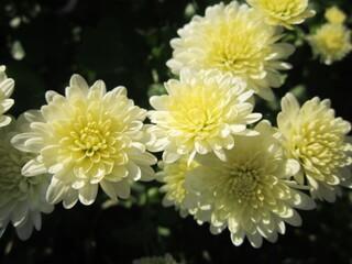 Хризантема корейская низкорослая белая