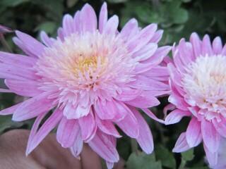 хризантема среднерослая принцесса диана
