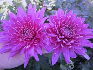 Хризантема высокорослая ярко-лиловая