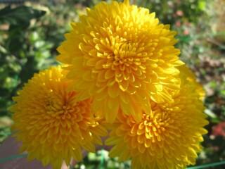 http://kherson-flower.ucoz.ua/gibiscus/khriz_vys_jarko-zheltaja.jpg