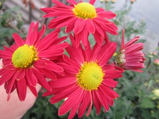 Хризантема высокорослая красная (ромашка)