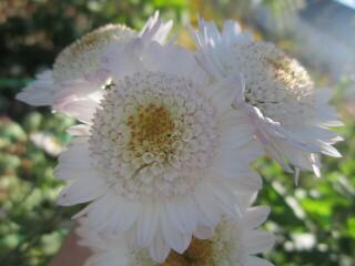 Хризантема высокорослая корейская светло-розовая мини-гербера.