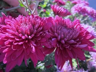 Хризантема высокорослая бордовая.