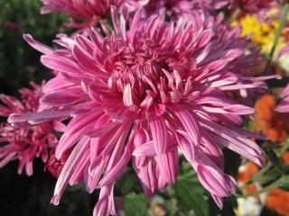 Хризантема высокорослая корейская пурпурно-розовая