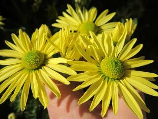 Хризантема высокорослая желтая (ромашка