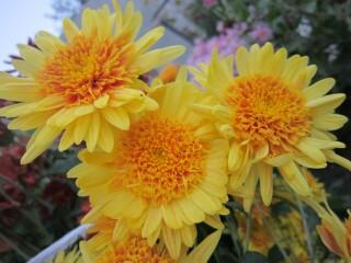 """Хризантема высокорослая корейская """"Вишневый сад""""."""