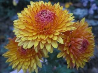 Хризантема высокорослая корейская желтая с темной серединой.