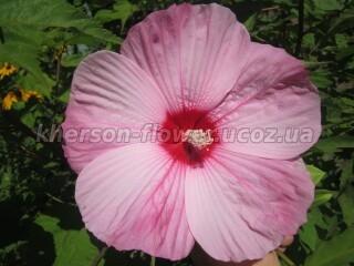 Гибискус травянистый розовый биколор.