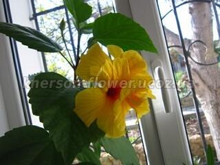 Китайская роза Гибискус комнатный Koenig