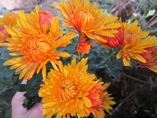 Хризантема высокорослая Золотой апельсин