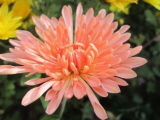 Хризантема низкорослая