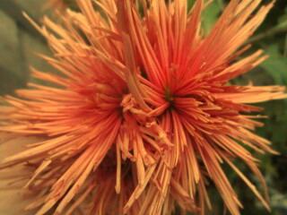 Хризантемавысокорослая оранжевая игольчатая