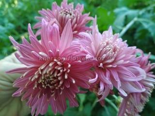 Хризантема высокорослая сиренево-розовая.