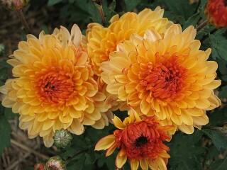 хризантема корейская низкорослая солнцесвет