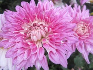 хризантема корейская низкорослая улыбка