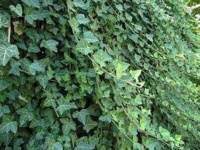 Плющ садовый вечнозеленый