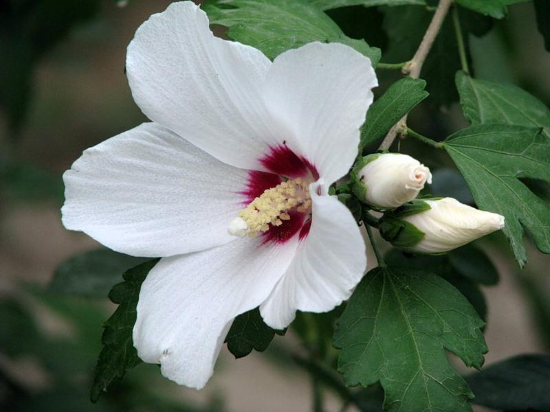 Гибискус белый древовидный