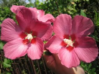 Гибискус розовый древовидный