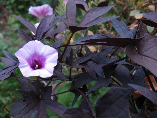 Ипомея батат Sweet Caroline Purple