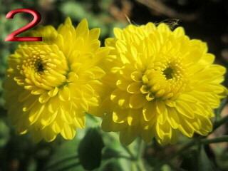 Хризантема корейская низкорослая желтая