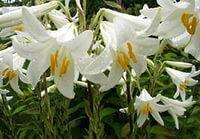 Лилия белая садовая.