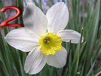 Нарцисс средний