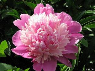 Пион травянистый розовый.