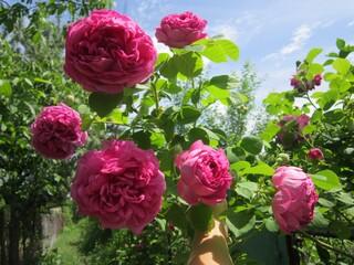 Чайная роза ярко-розовая