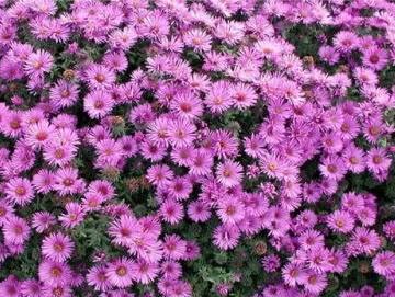 Астра многолетняя розовая, низкорослая