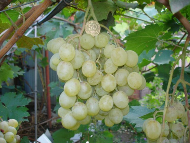 Виноград Фрумоаса Албэ (Белая красавица)